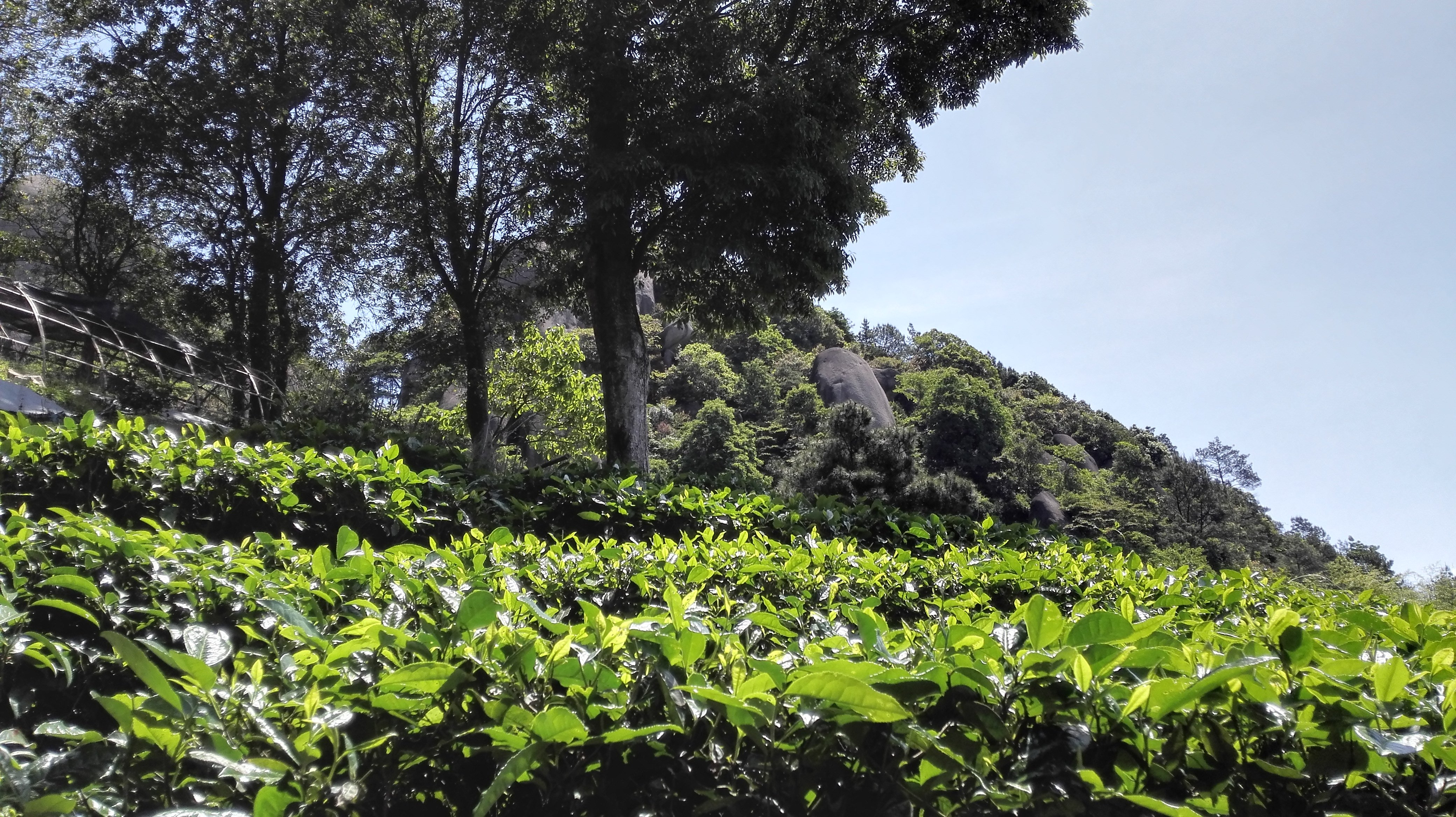 Tea Field - Taimu