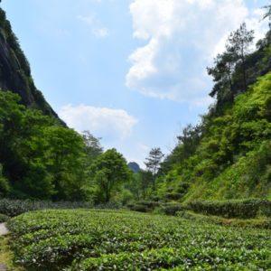 rock tea-garden-in-wuyi-preserved-region